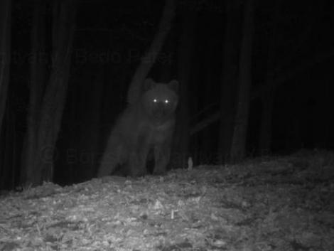 Tényleg medve jár a Börzsönyben – itt a bizonyíték