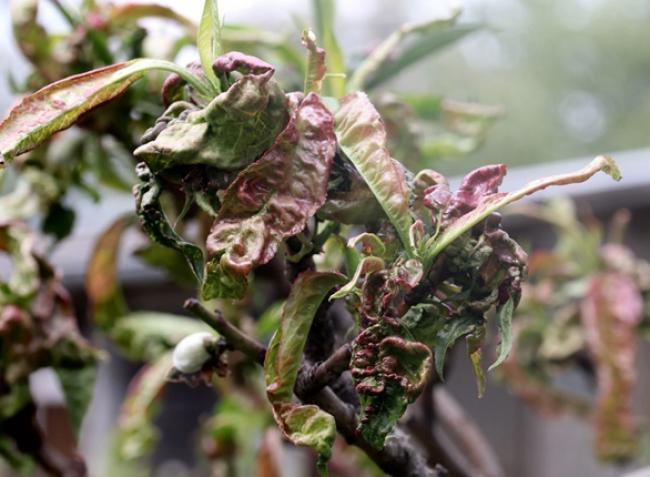 Növényvédelmi előrejelzés: futótűzként terjednek a betegségek