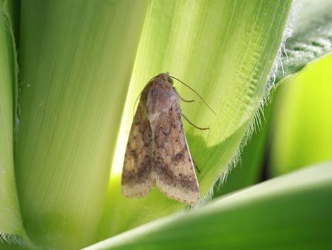 A kukoricatermesztés nehézipara, a hibrid- és csemegekukorica védelme