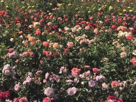 Rosarium és fűszerkert a siklósi várban