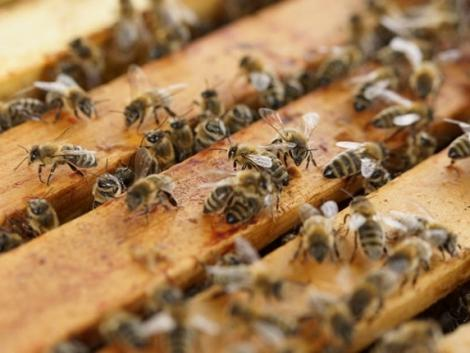 Ebből baj lesz: lassan eltűnnek a méhek Európából