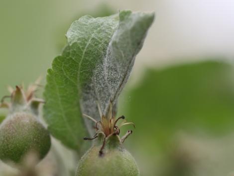 Növényvédelmi előrejelzés: Az alma és a búza permetezése nem tűr halasztást!