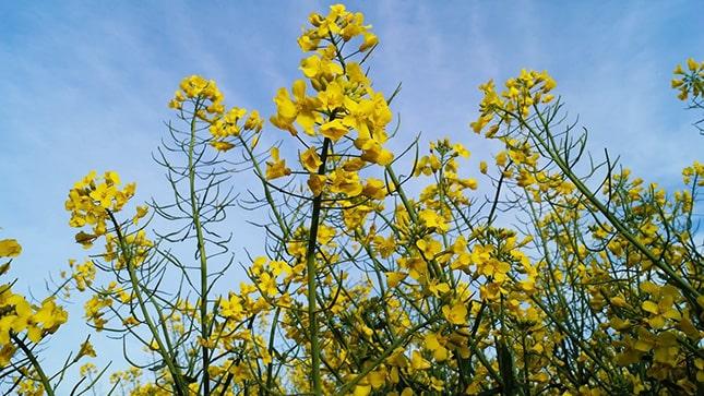 repce sárga virága