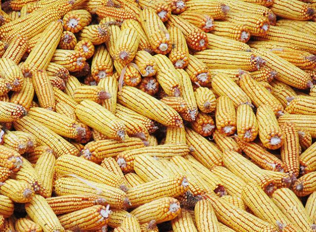 Elképesztő, ami a kukoricaárakkal történik, sorra dőlnek a rekordok!