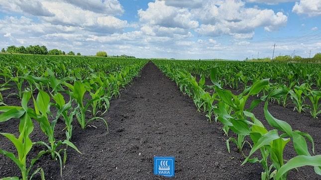 kukorica növényvédelem