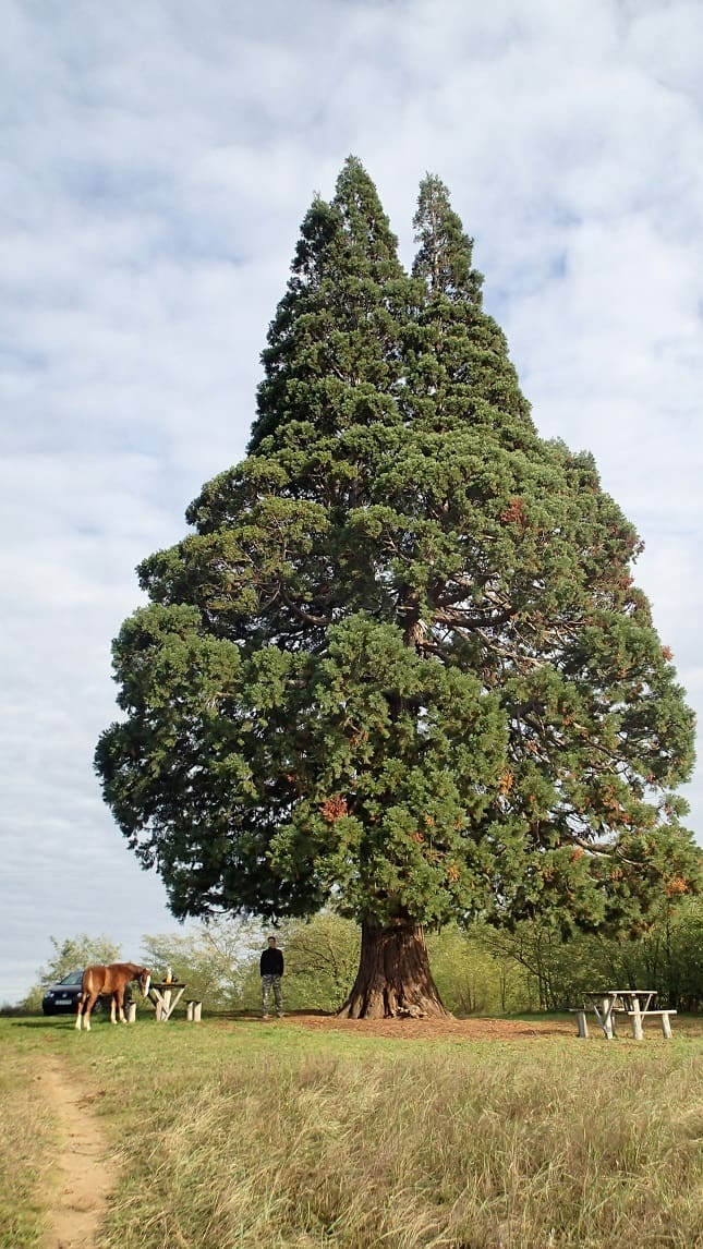 nagy ökológiai értékű fa