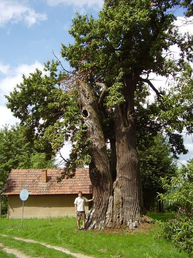 értékes idős fa