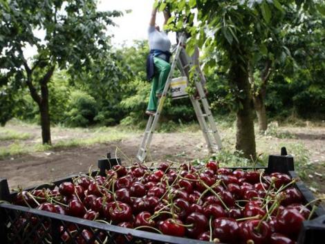 Egekben a magyar cseresznye ára – drágán indul a szezon