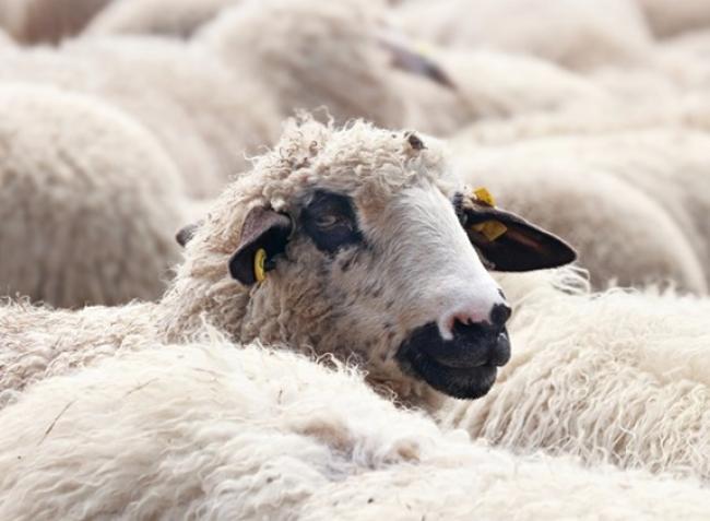 Változik a juh- és kecskefélék jelölése: segítünk megfelelni az új szabályozásnak