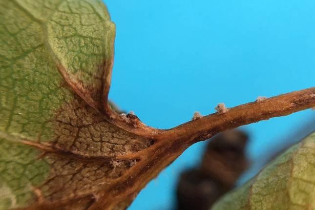 monília fertőzés gyümölcsfán