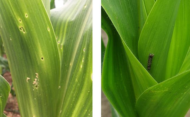 kukoricamoly és gyapottok-bagolylepke kártétele kukoricán