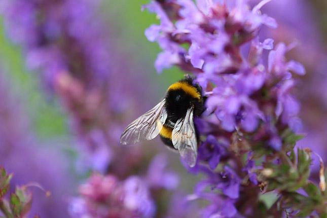 Méhlegelő