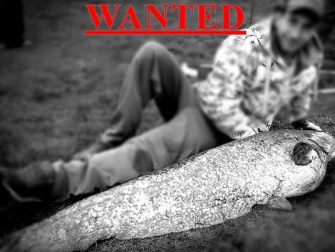 Vérdíjat tűzött ki egy siófoki tógazda az óriás harcsák fejére