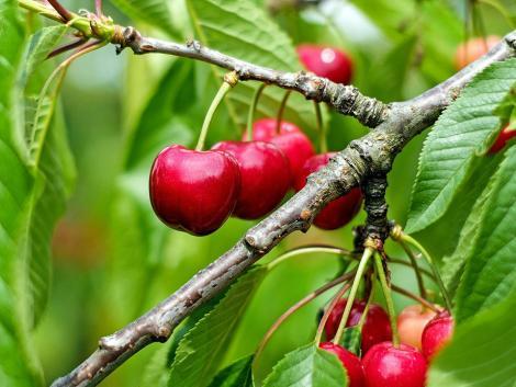 Napokon belül felére csökken a cseresznye ára?