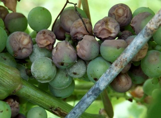 Újra terjed a feketerothadás a szőlőben! Hogyan védekezzünk?