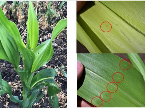 Önnek megéri 200 kg kukorica ára a termésbiztonságért?