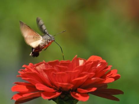 A magyar kolibri lett az év rovara. Ismerkedj meg vele!