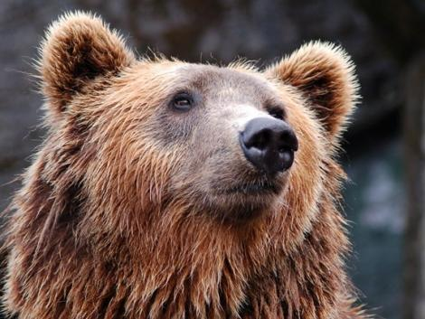 Illegálisan kilőtt medvéket találtak két zalai vadásznál