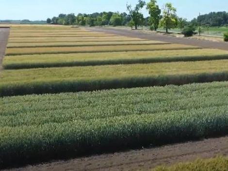 Mv Nádor és Mv Ménrót búza termesztési tapasztalatok Borsod megyéből
