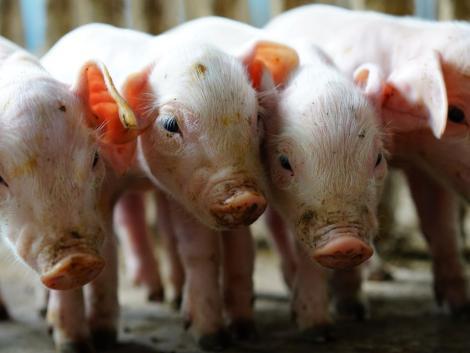 Hihetetlen méretű sertéstelepek épülnek a gyilkos kór miatt
