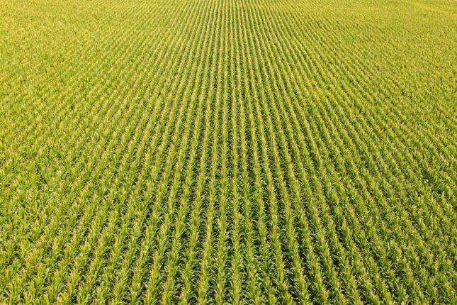 Kína óriási mennyiségű kukoricát vásárol fel.