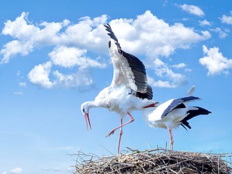 26 gólya tetemét találták meg – áramütés végzett velük