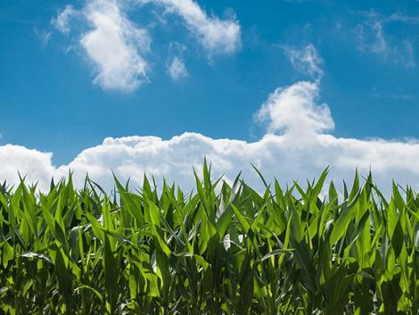 Idén nagyot lehet kaszálni a jó napraforgó, kukorica és paradicsom terméssel