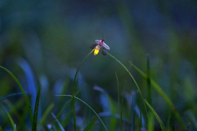 fény szentjánosbogár