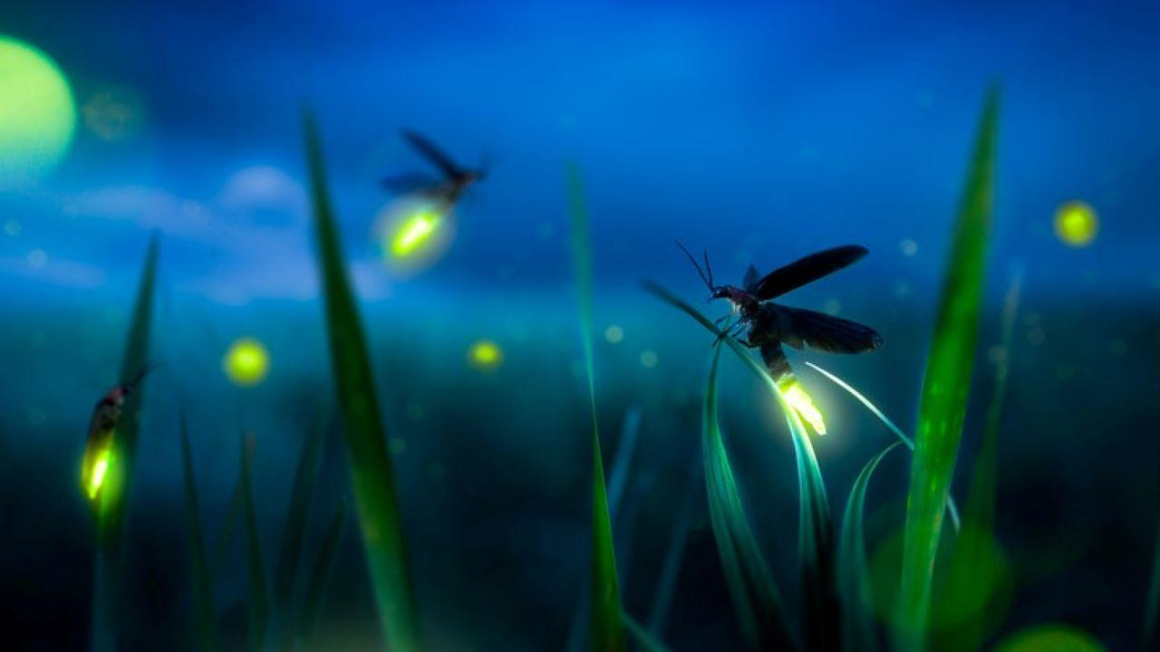 nyár este szentjánosbogár