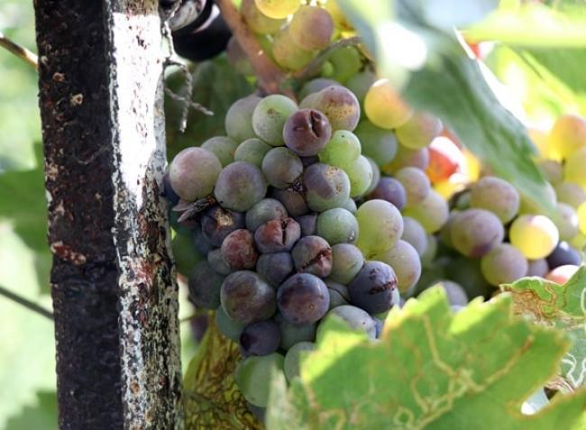 Növényvédelmi előrejelzés: Óriási károkat okozhat a szürkepenész a szőlőben, az elvetett repce esőért könyörög