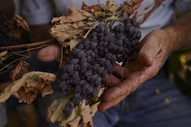 fertőzött szőlő