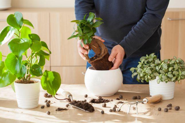 átültetés szobanövény