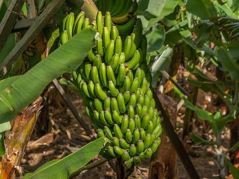 Mégsem kell búcsút vennünk a banántól?