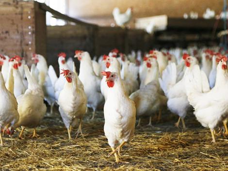 Sípoló hanggal megváltoztatható a csirkeembrió neme?