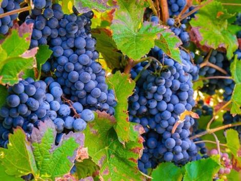 Államtitkár: Nem érdemelnek fejlesztési forrásokat a szőlőtermelőkkel tisztességtelen felvásárló cégek