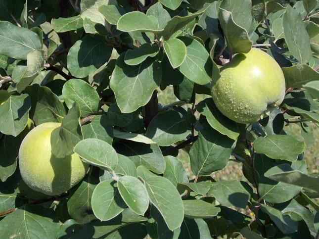 alma alakú birs