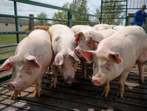 Kilátástalan helyzetben a magyar sertéstenyésztők! Összefognak vagy végük?
