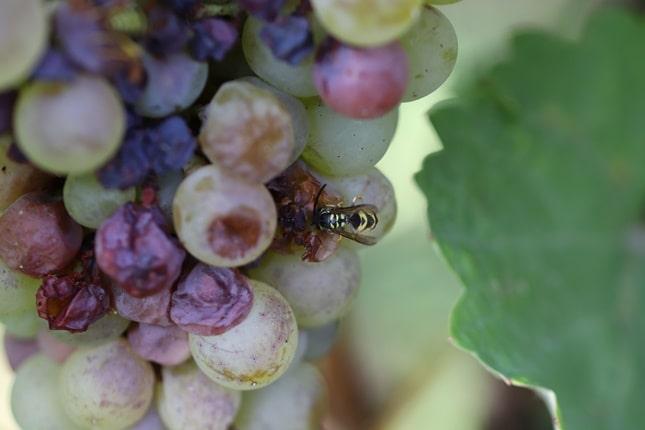 darázs szőlőn