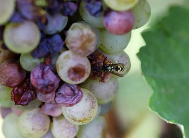 Növényvédelmi előrejelzés: Rohamosan teszi tönkre a szőlőtermést a darázs- és a muslicakártétel