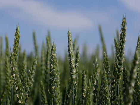 GENIUS: prémium malmi minőséget adó, nagy termőképességű búza