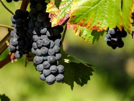 Kétségbeesett szőlőtermelők már az ültetvény kivágását tervezik