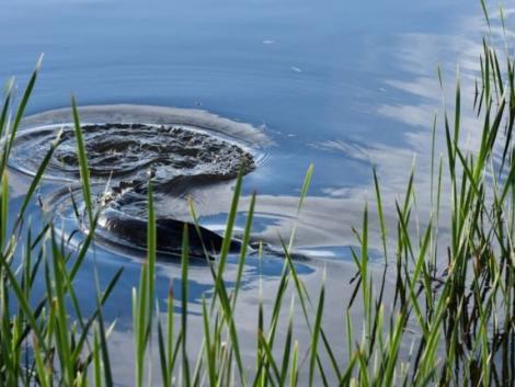 Nagyon furán viselkedő amurokra bukkantak a Velencei-tóban