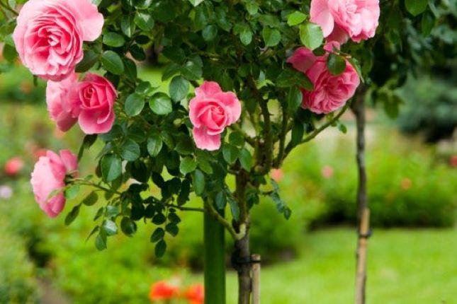 magastörzsű rózsa