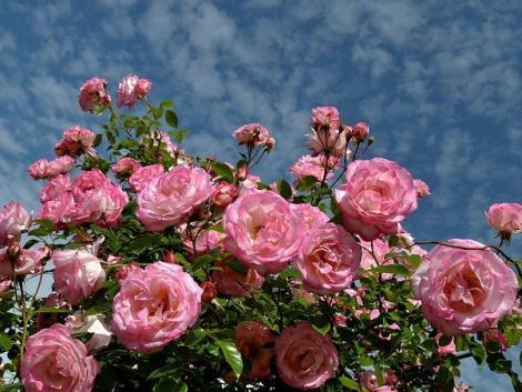 Így lehet mesebeli kerted: nevelj magastörzsű rózsát!