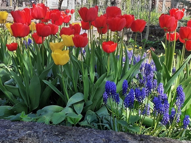 tulipán és gyöngyike