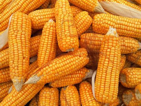 Kukorica: ami az olaszoknak hátrány, előny lehet a magyaroknak