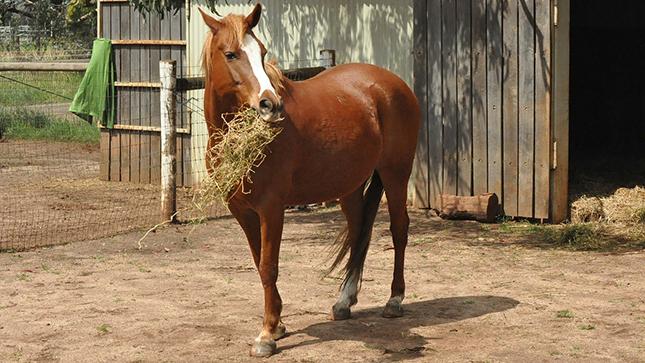 ló szénát eszik