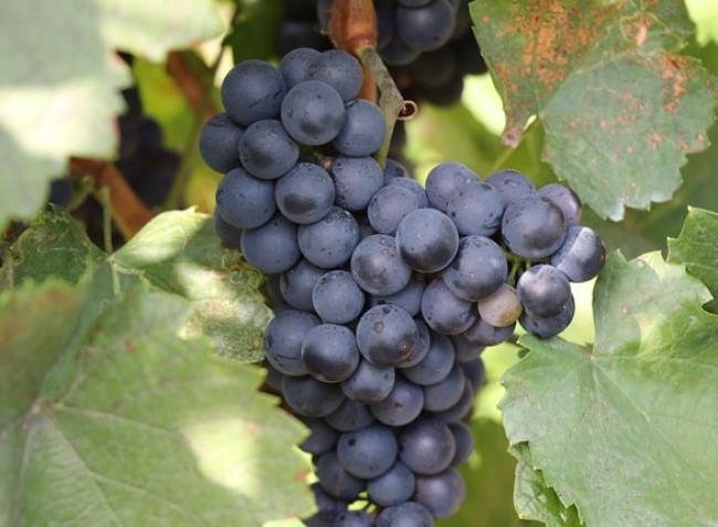 Érdemes szőlőt ültetnem a kertembe? Érvek pro és kontra