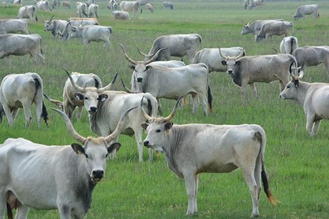 magyar szürke szarvasmarha