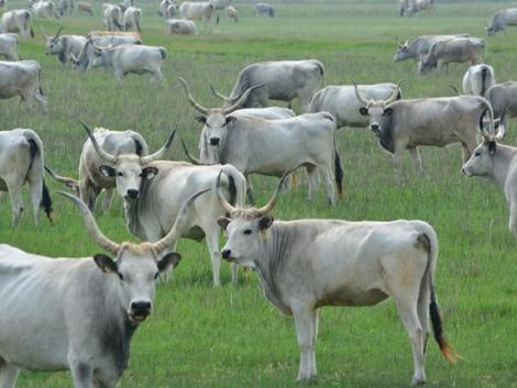 Ezeket az állatokat támogatásból lehet tenyésztésbe venni: szürkemarha, gyöngytyúk, mangalica, racka juh